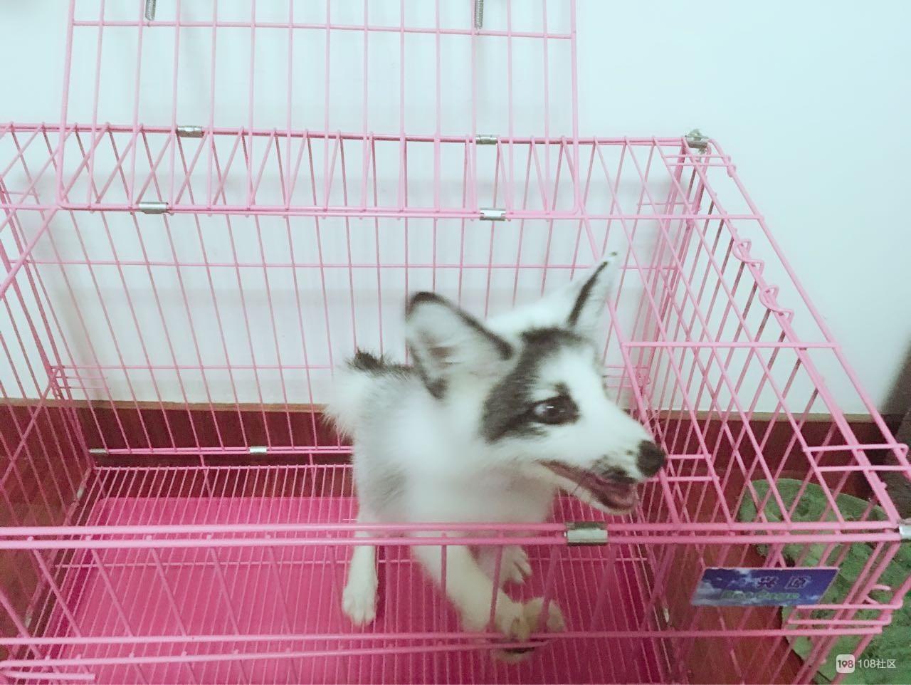 送养一只小狐狸
