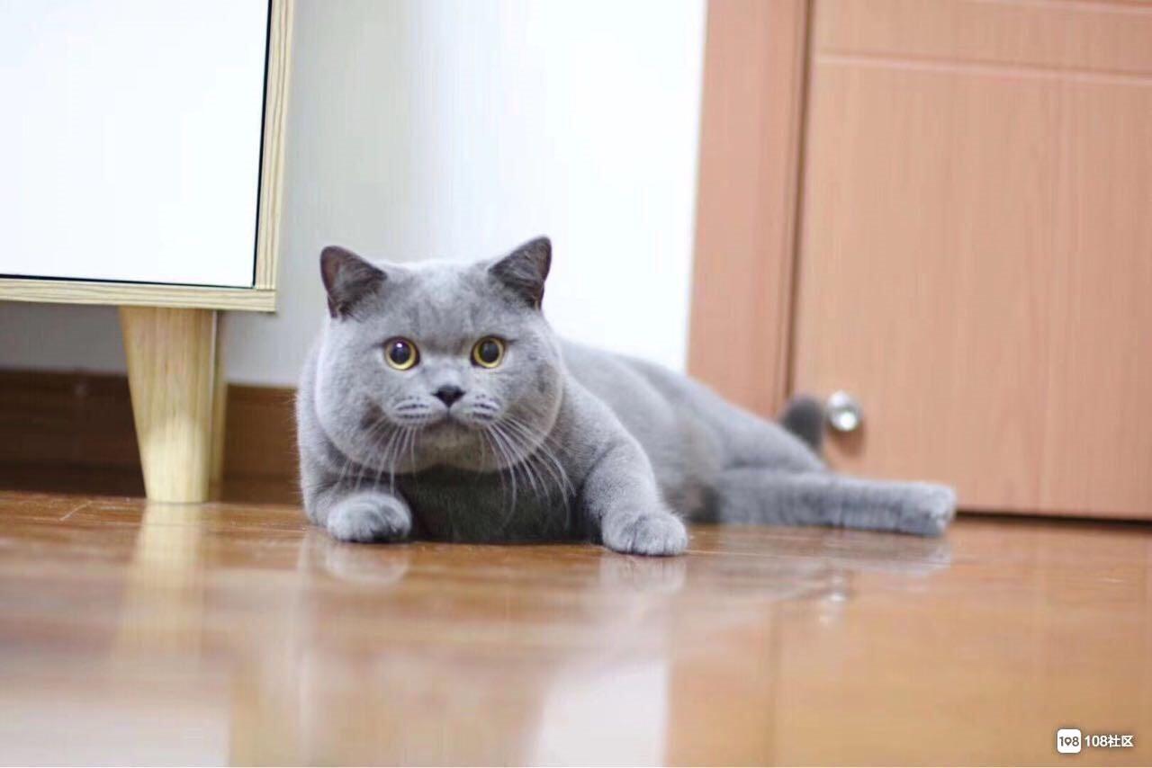 cfa双血统英国短毛猫