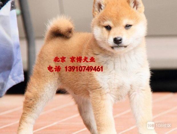北京市哪里有卖日本柴犬 纯种柴犬多少钱一只