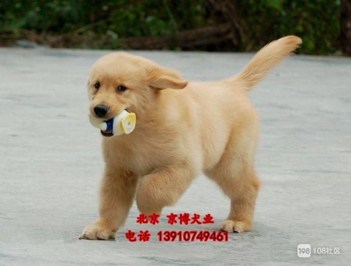 赛级金毛寻回猎犬 赛系金毛小狗多少钱