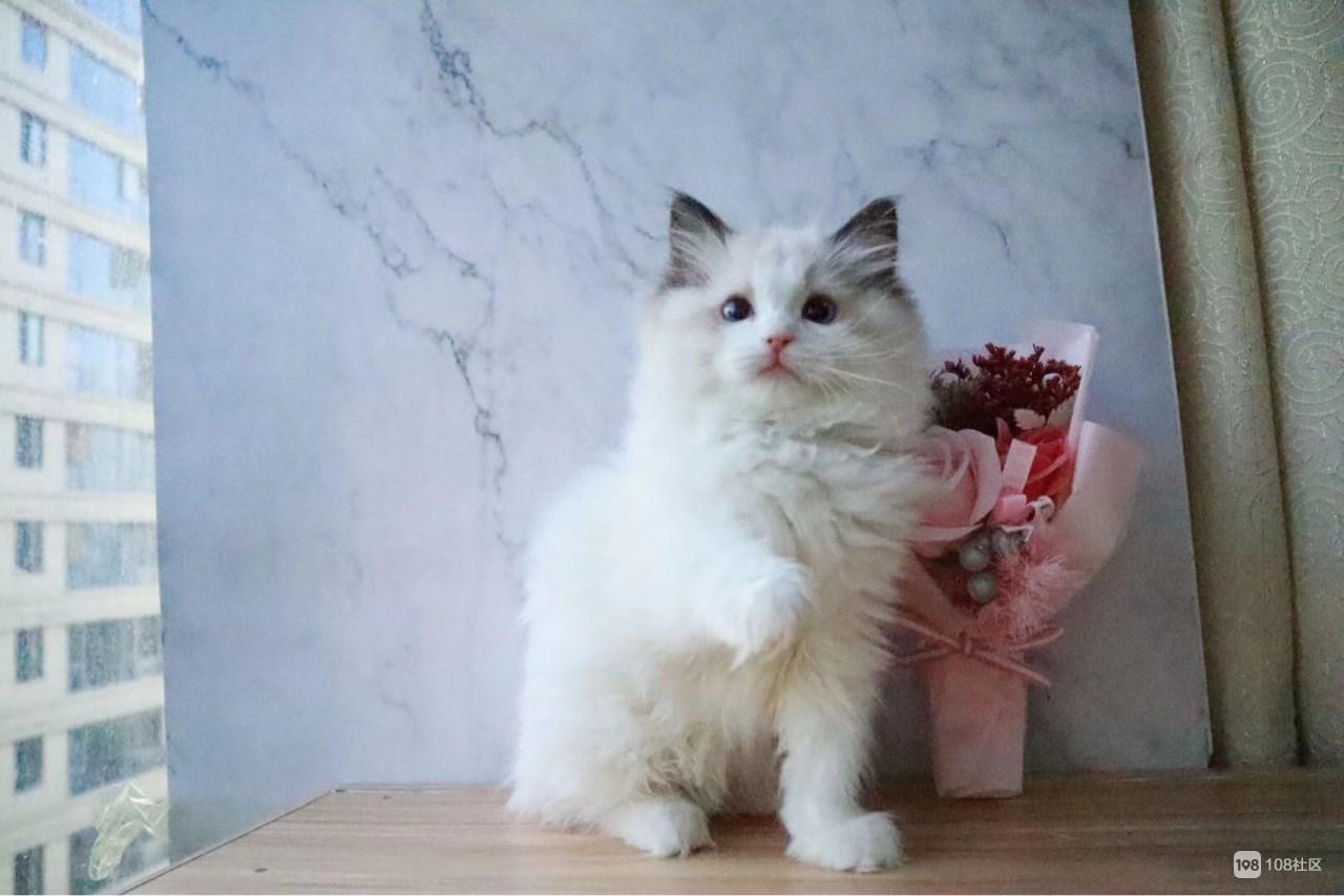 【转卖】布偶猫