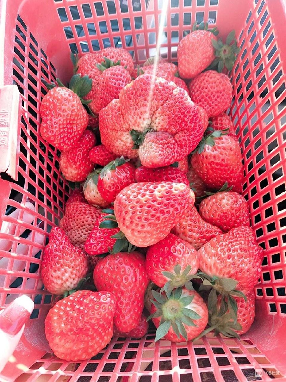 30一斤!瓷都女子摘草莓一时爽 上称付钱心在滴血!