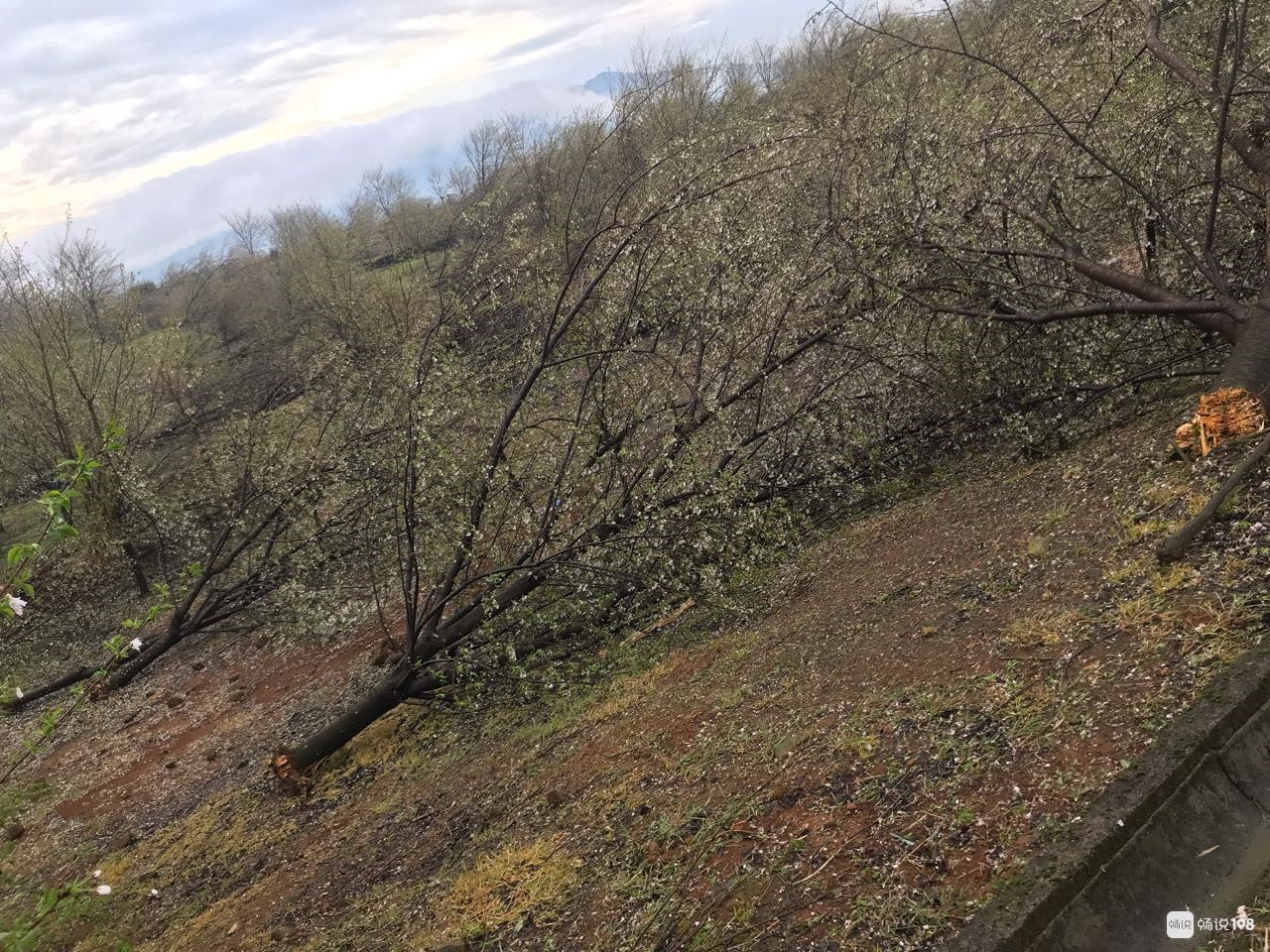 损失上万!桃形李、香榧、樱花树…倒地折断!嵊州农户伤不起